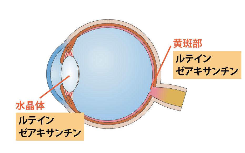 目とルテインゼアキサンチン